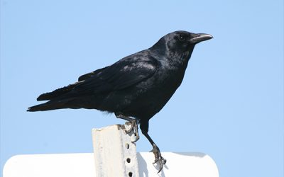 On Giving and Receiving: The Secret Love Life of Crows